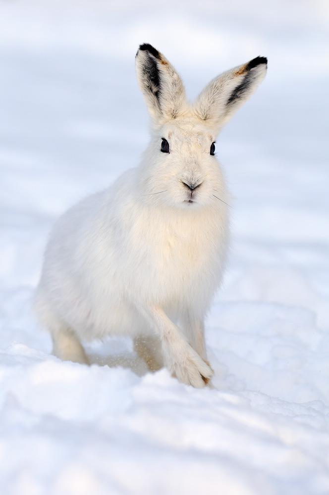 Hare (Lepus timidus)...