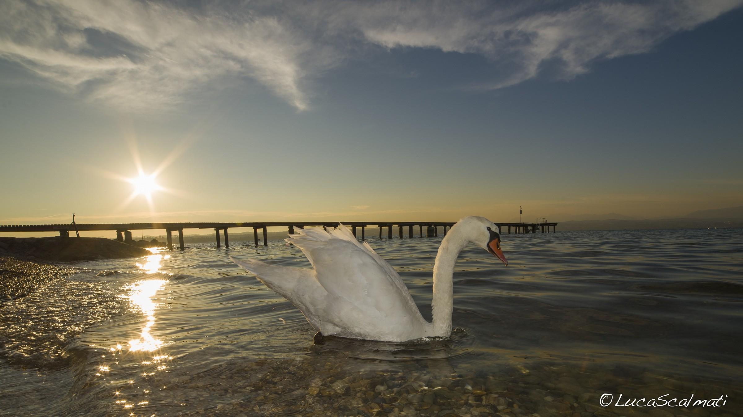 Swan BackLight...