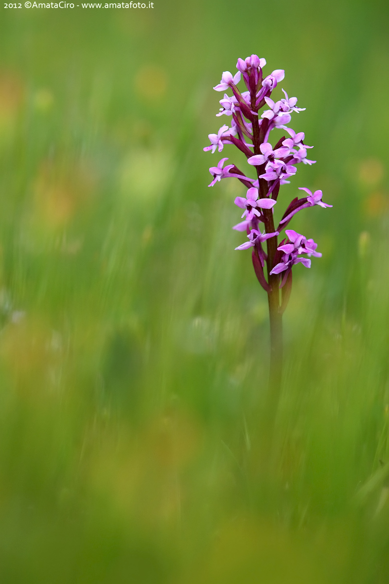 Orchis Branciforti...
