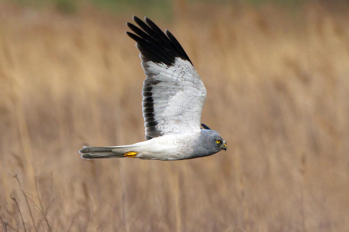 Royal harrier (Male)...