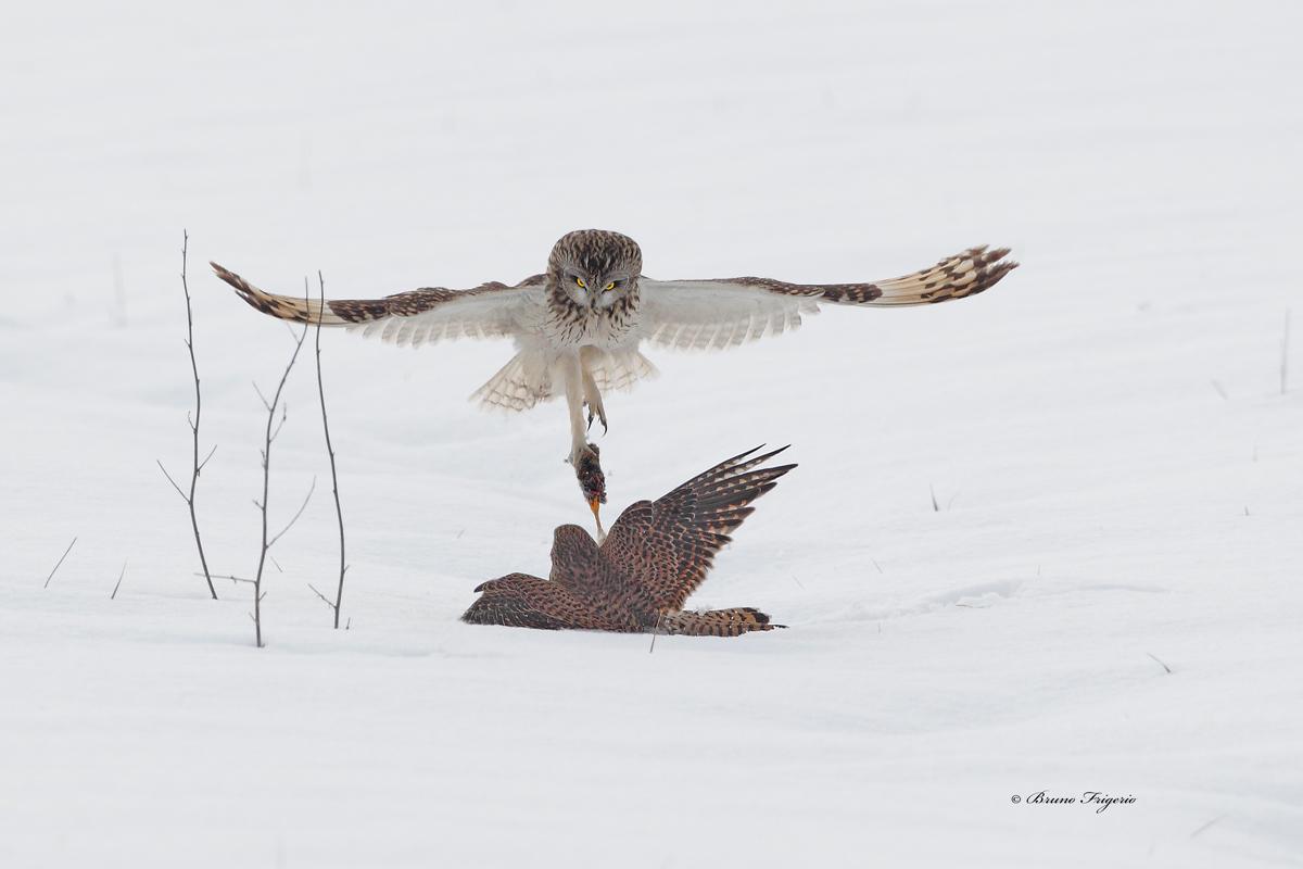 tug-eared owl and kestrel...