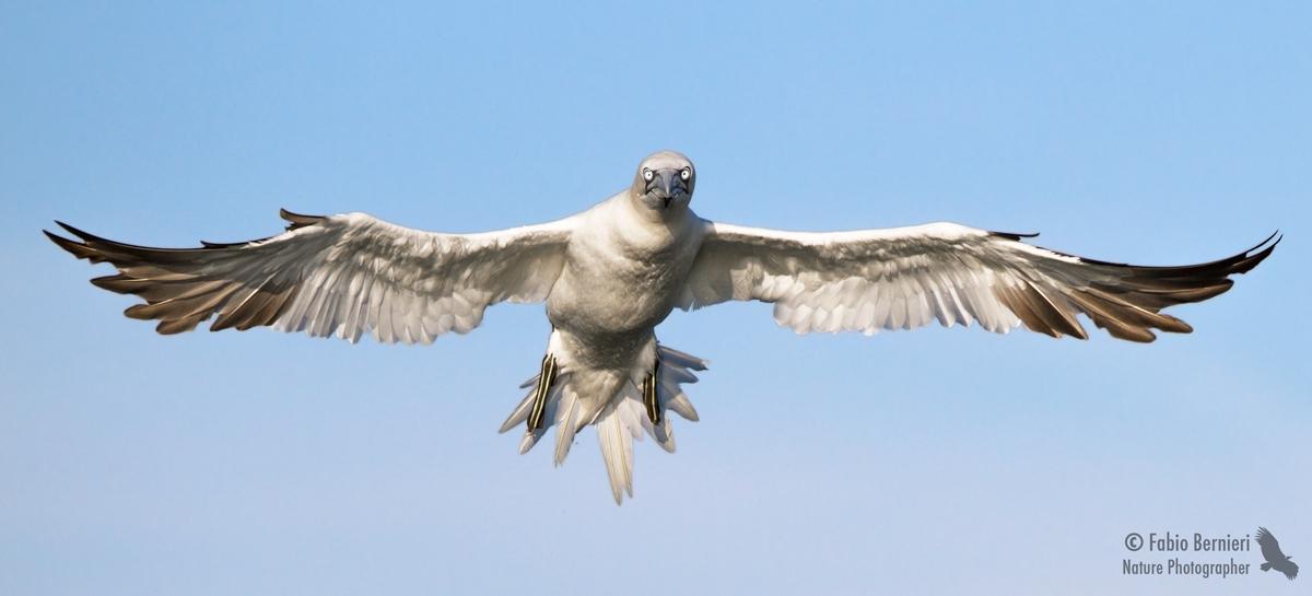 Northern gannets...