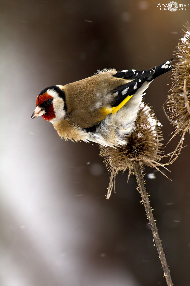 Goldfinch arrived !...