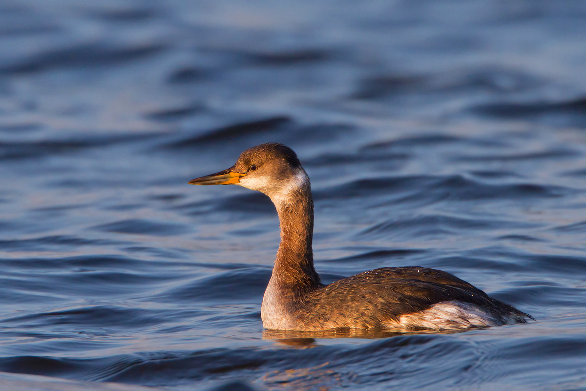Red-necked Grebe...