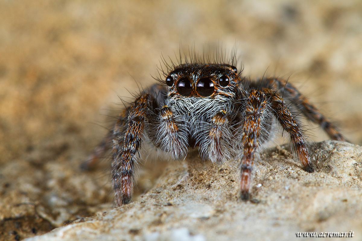 #Arachnida Philaeus chrysops...