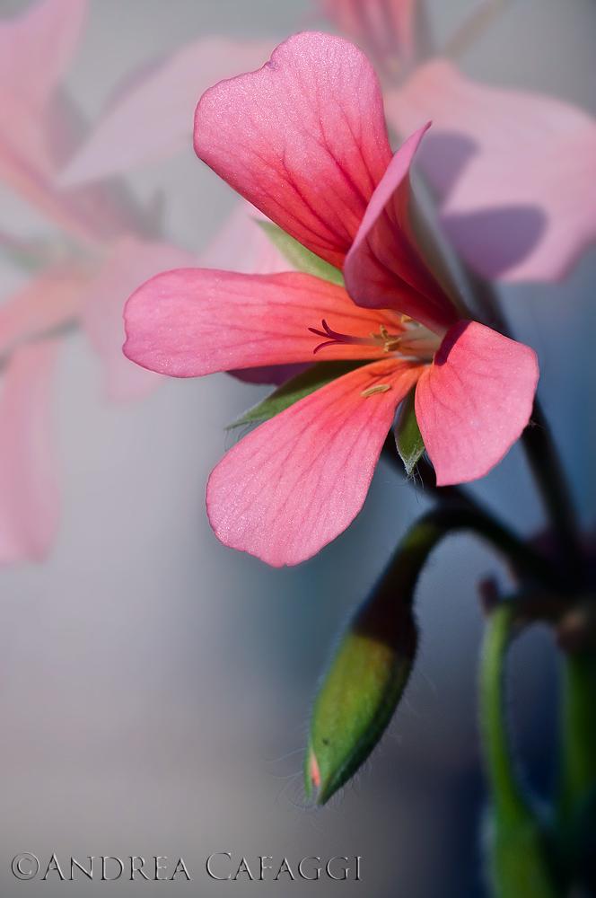 Pelargonium/Geranio...