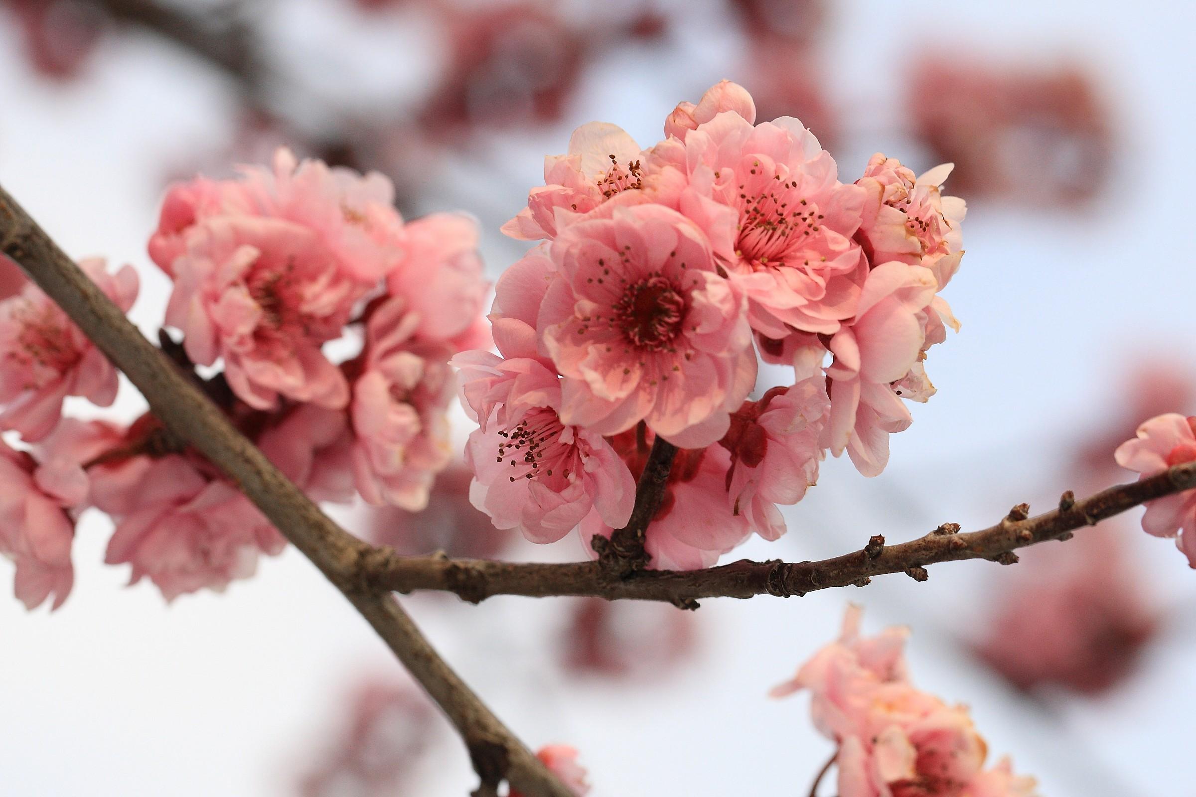 Peach blossoms...