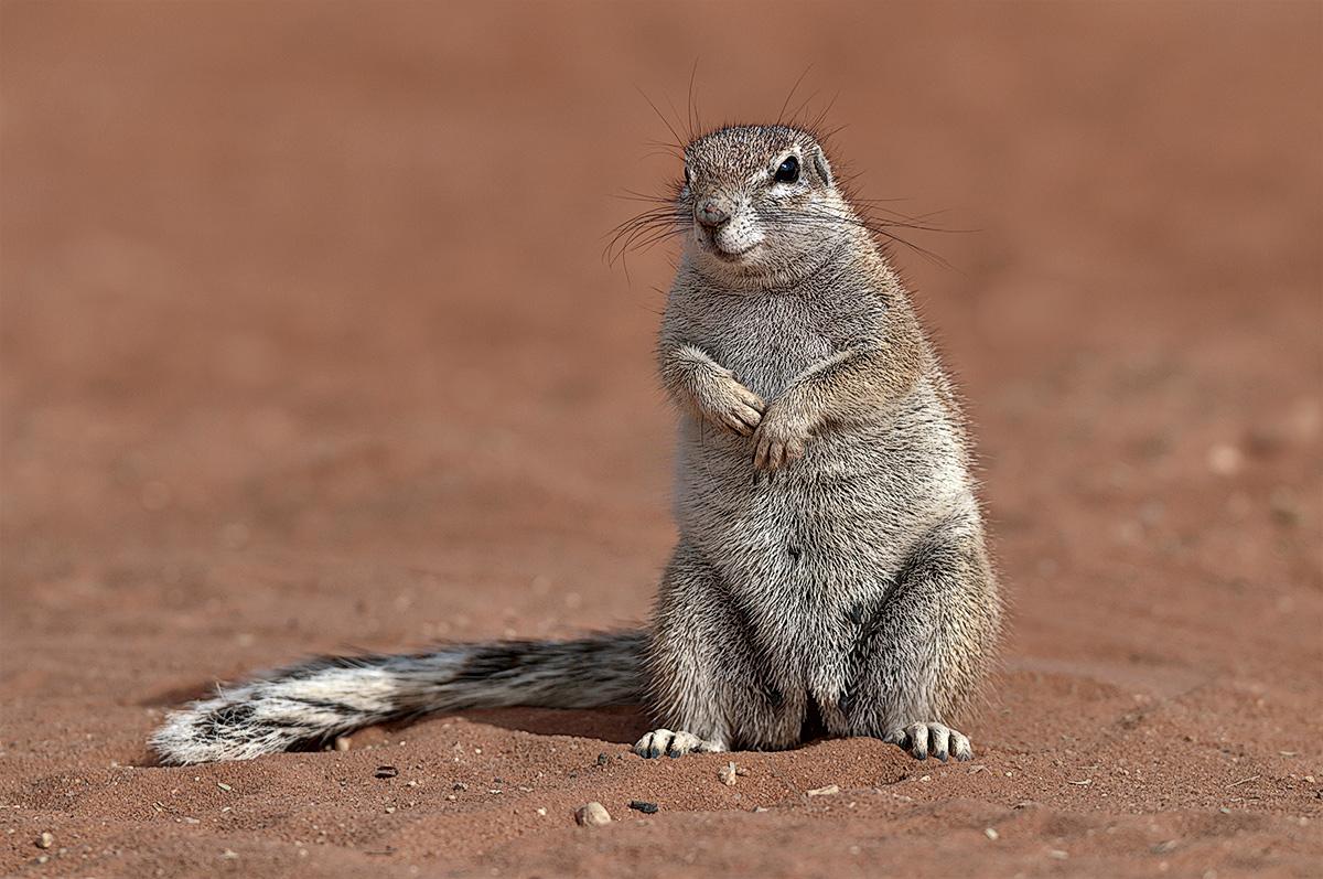 Ground Squirrel...