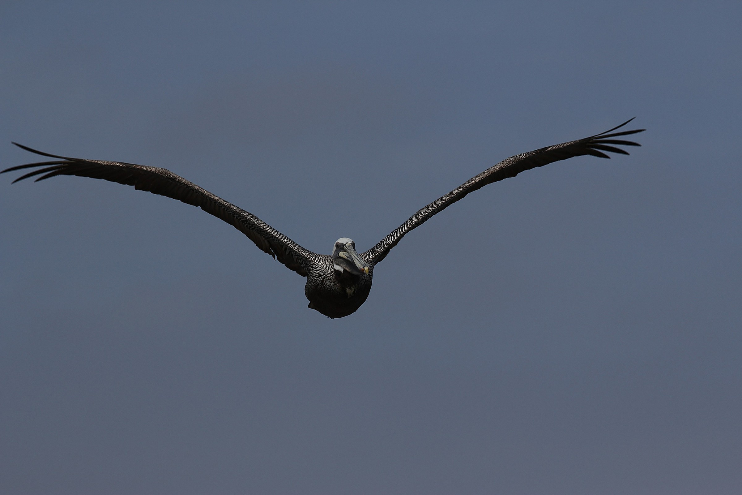 Pelican in flight...
