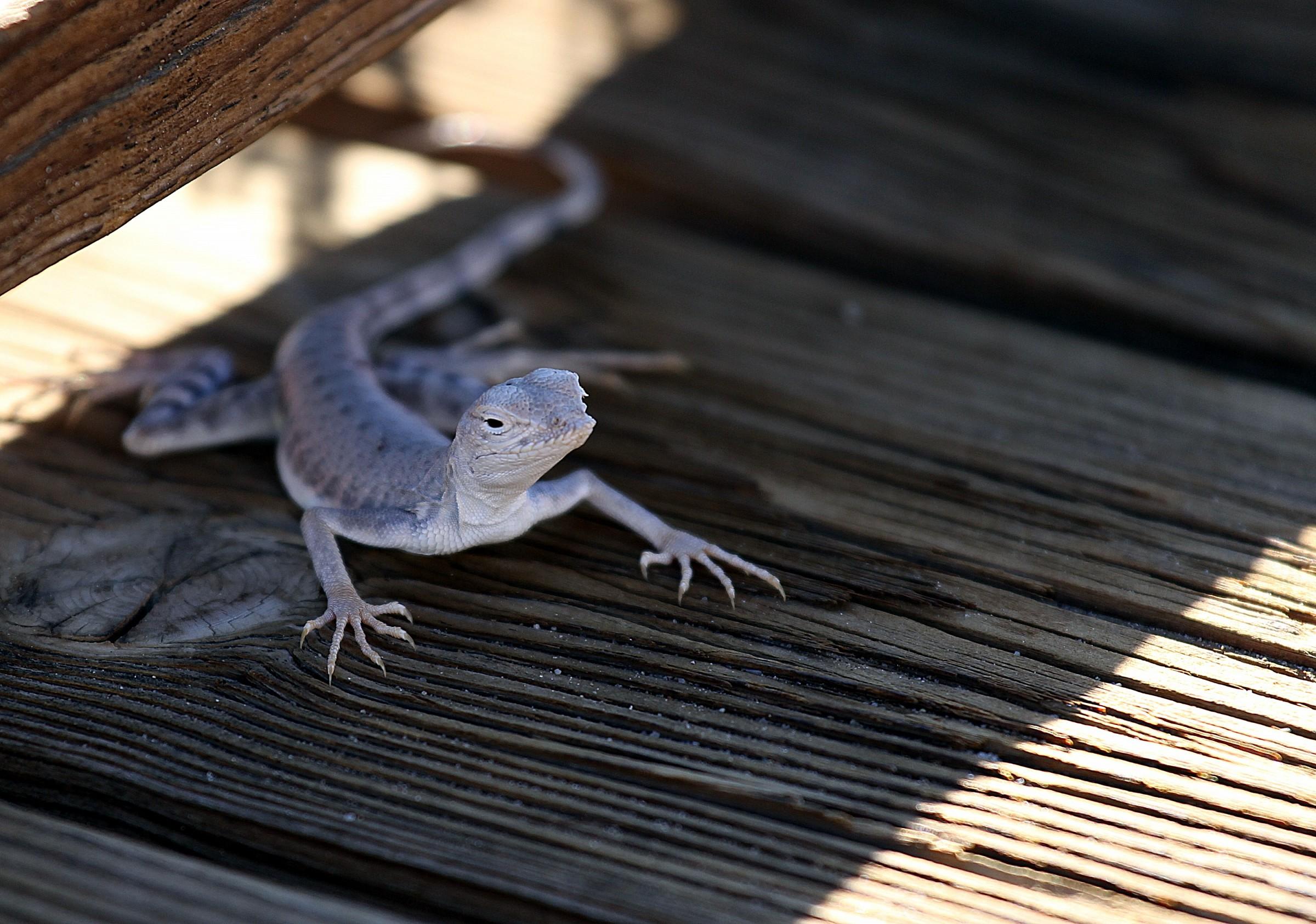 Lizard, Death Valley...