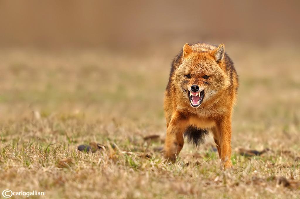 Golden jackal: the male...