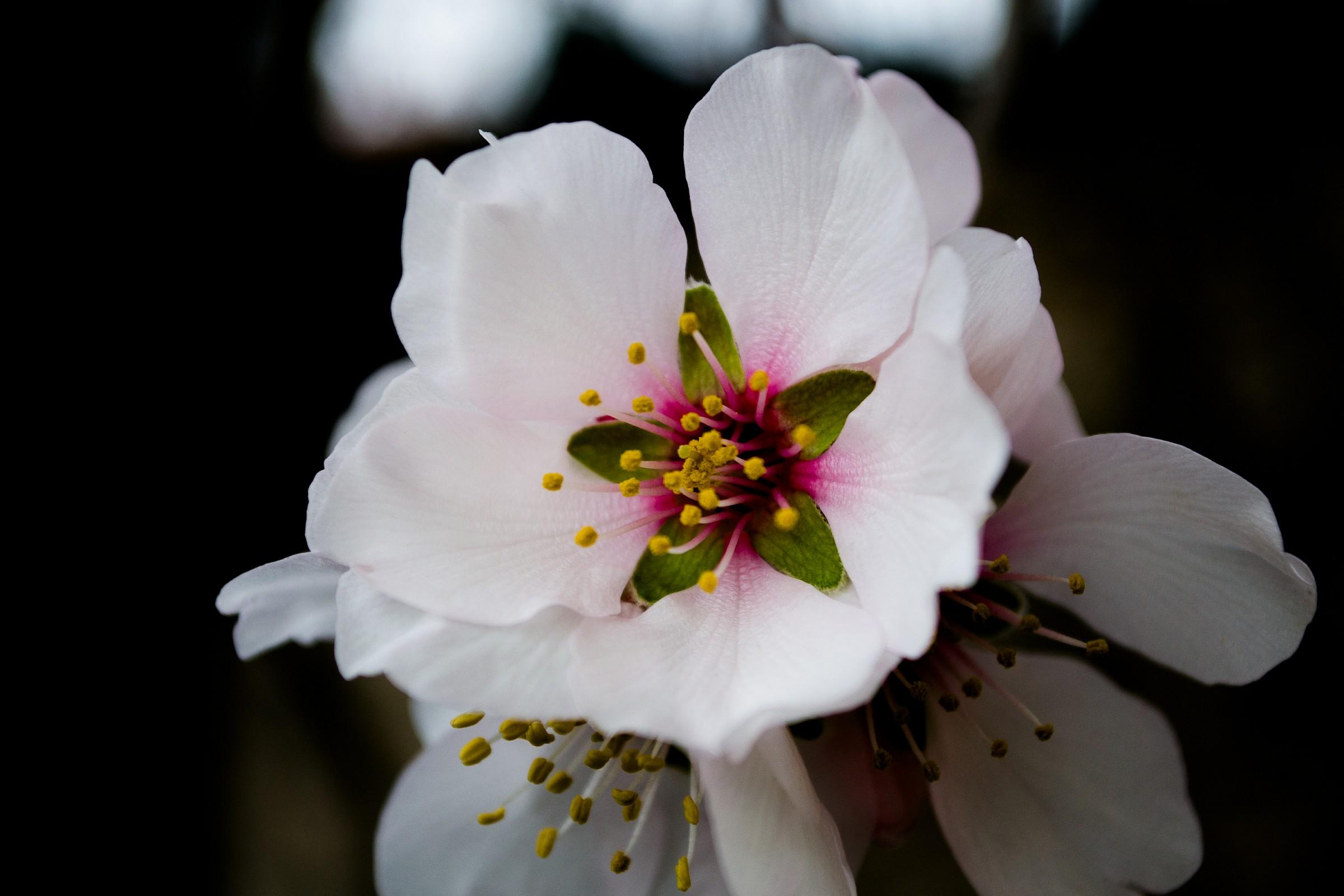 almond tree...