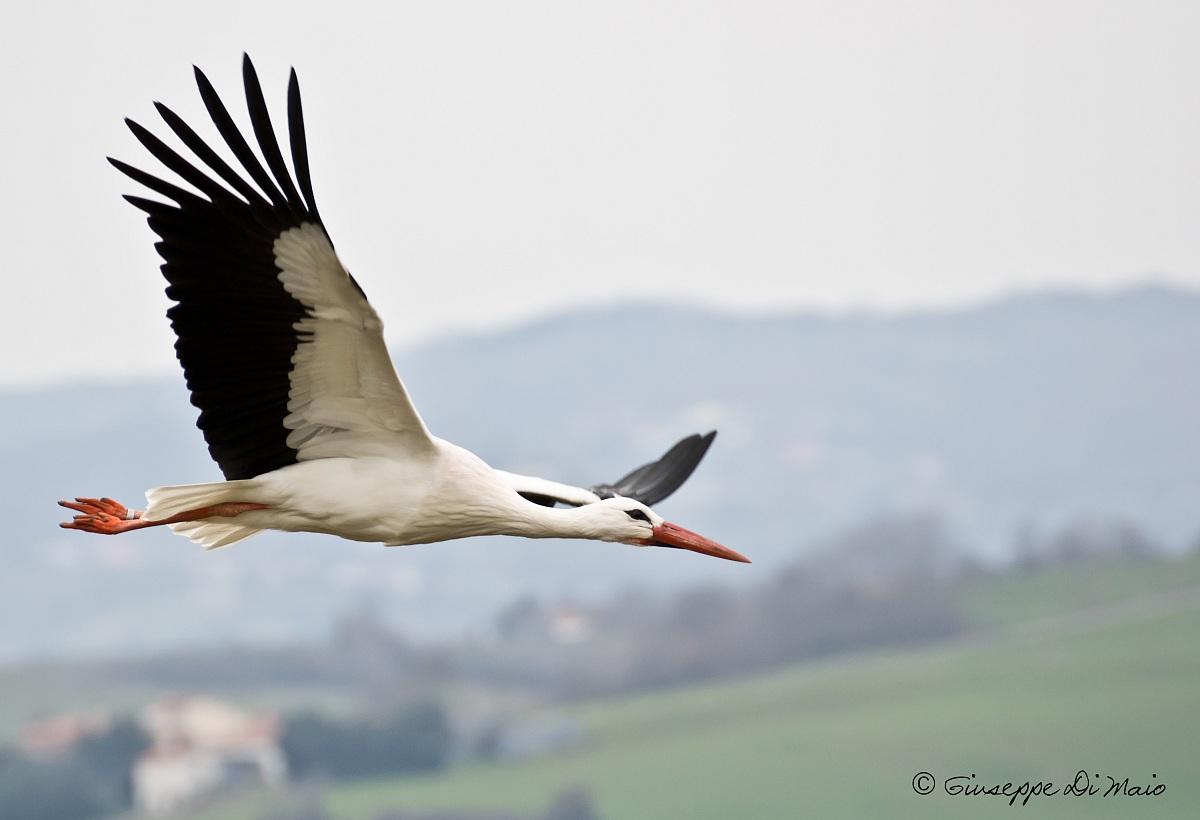 Il volo della cicogna.....