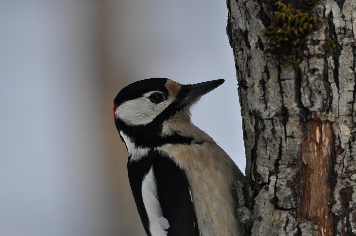 Woodpecker male...