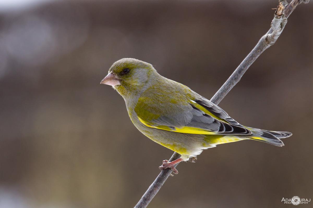 Greenfinch...