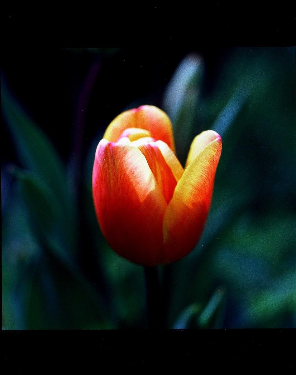 The tulip in film...