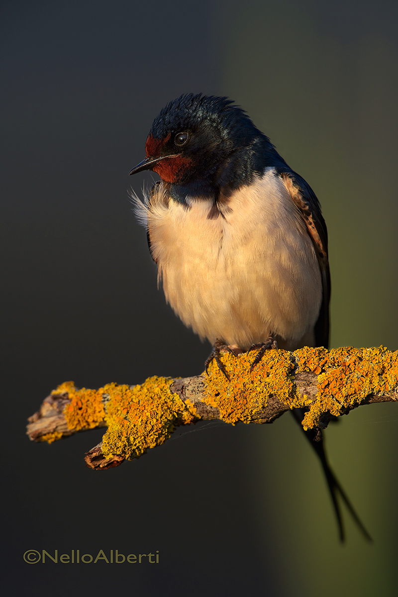 swallow at sunset...