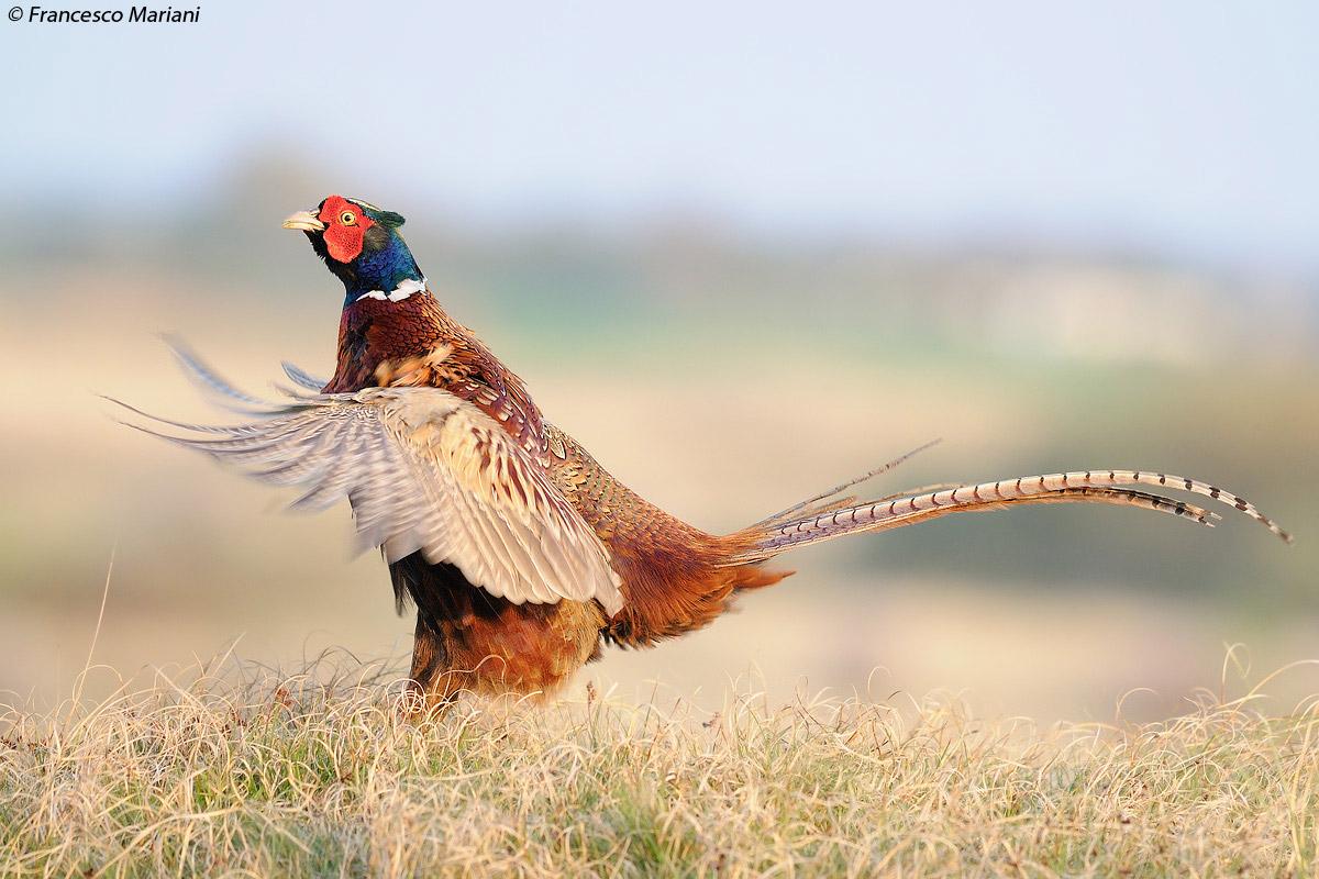 Z Gallerie Pheasant Senza Titolo inviata i...