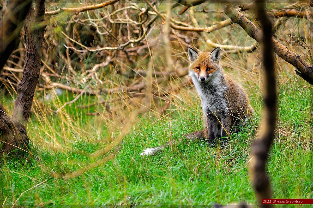 Fox Etna...