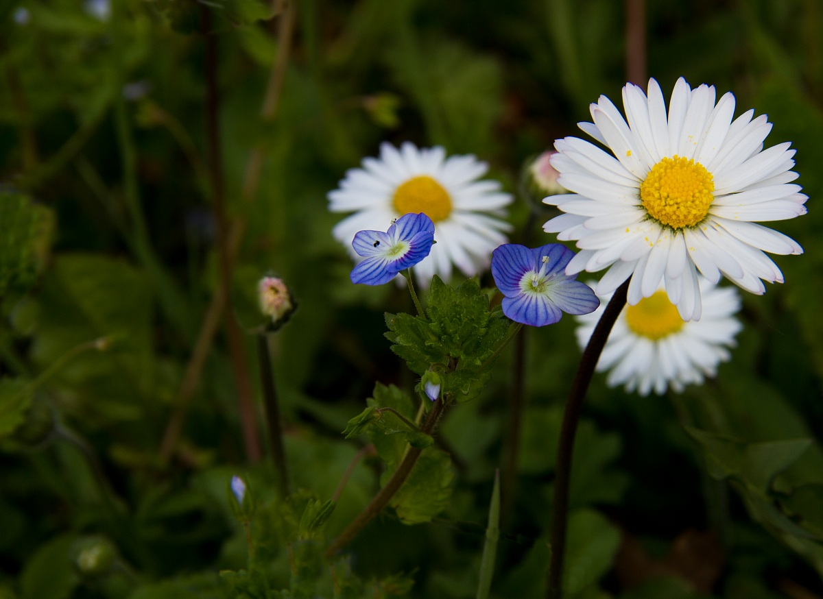 Daisies with blue eyes...