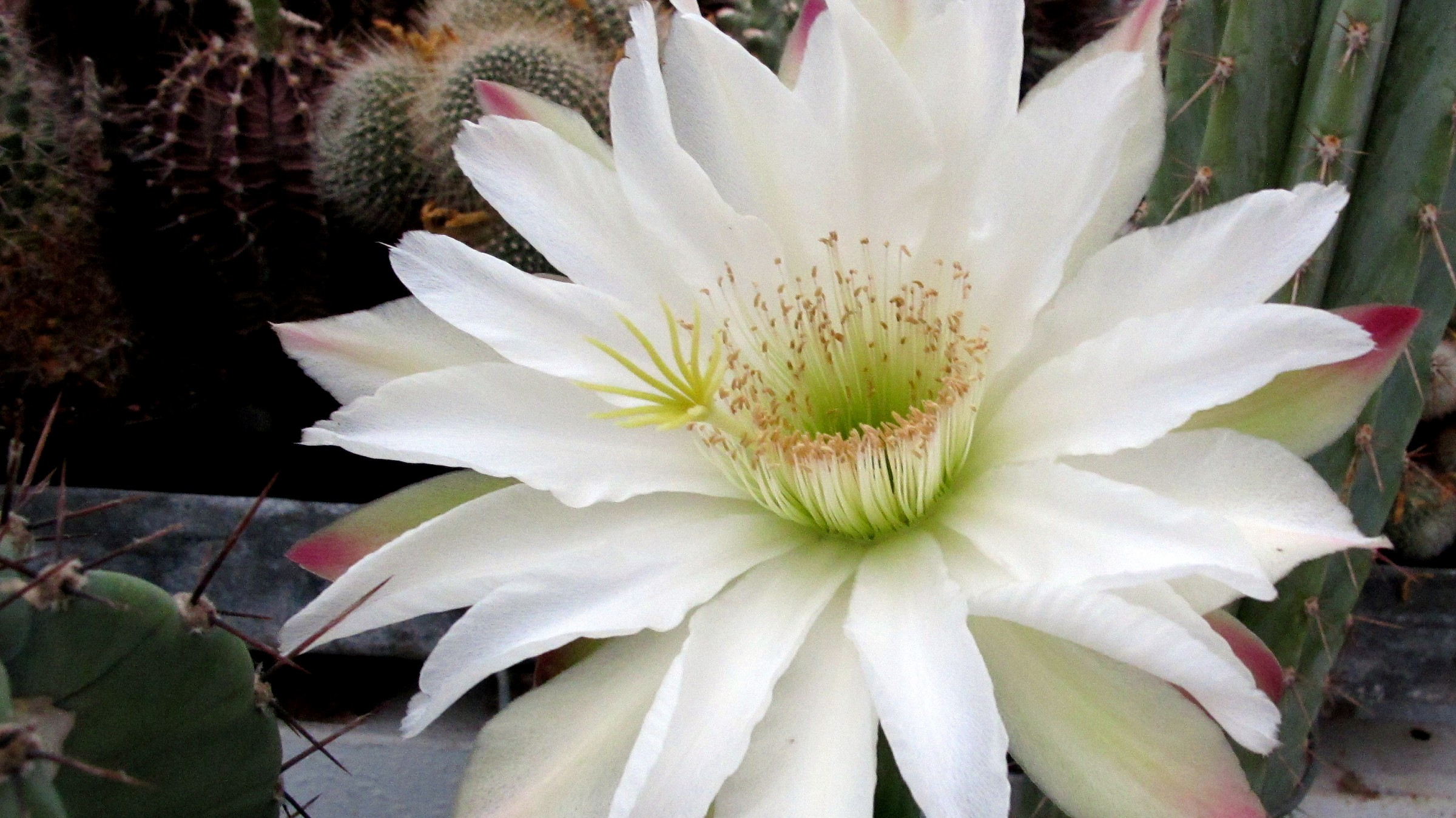 This is Cereus, not Echinopsis!...