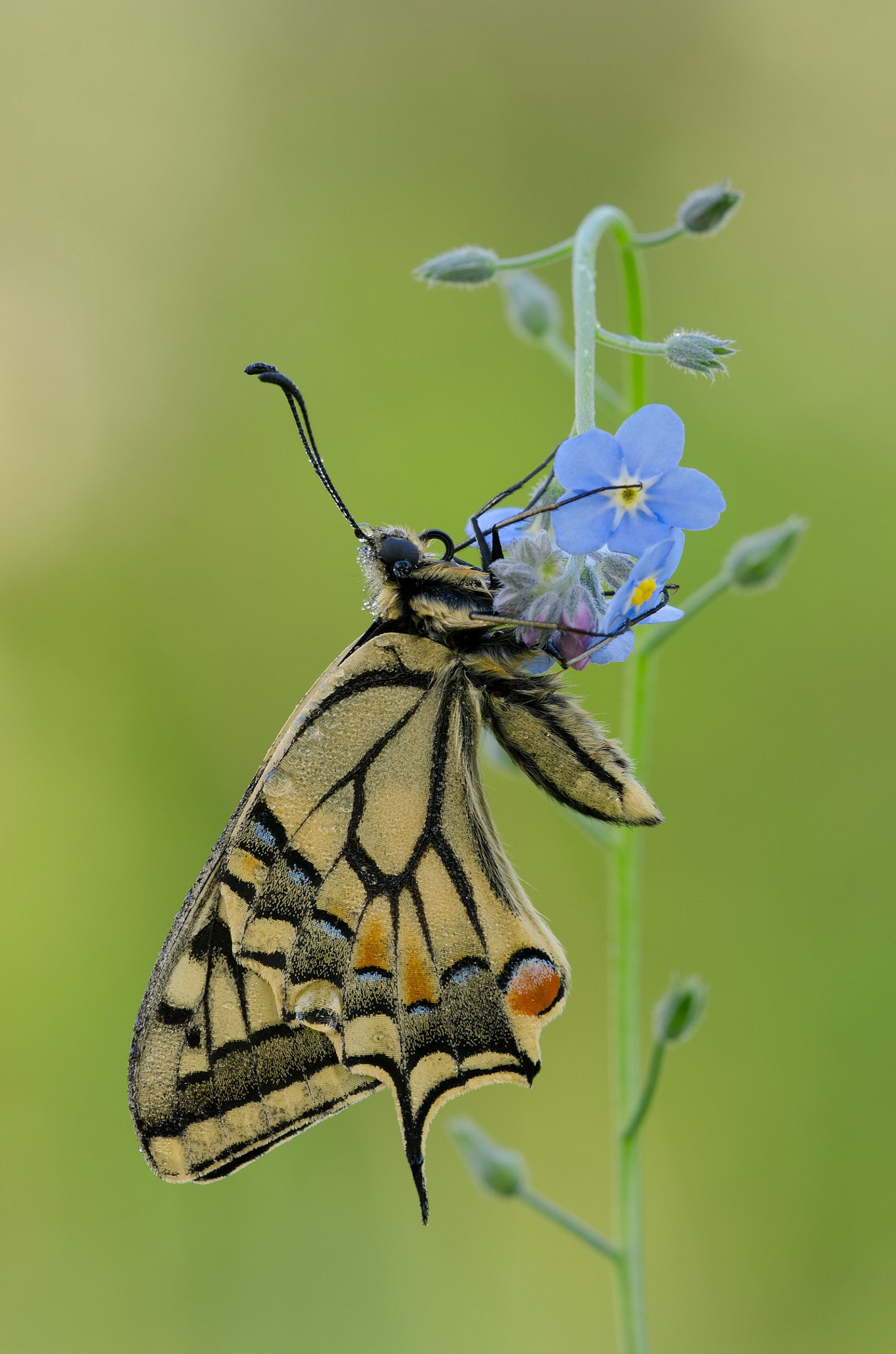The ups and downs of Machaon...