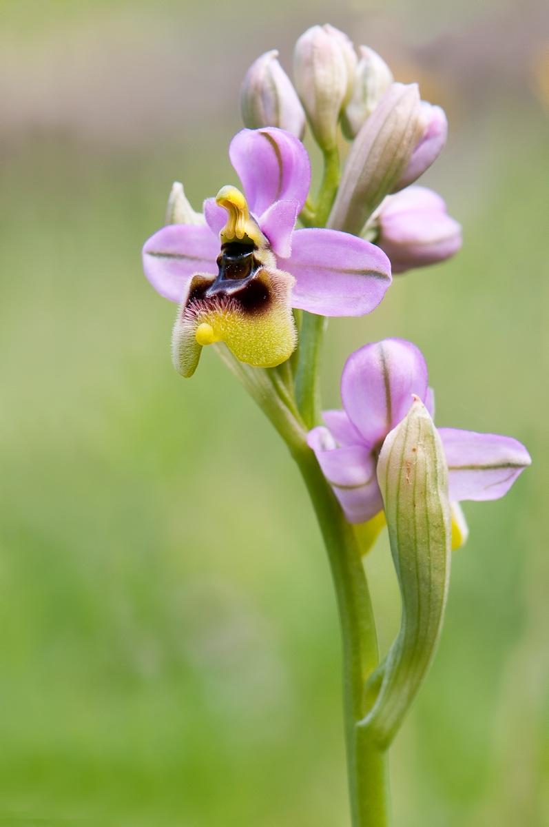 Ophrys tenthredinifera...