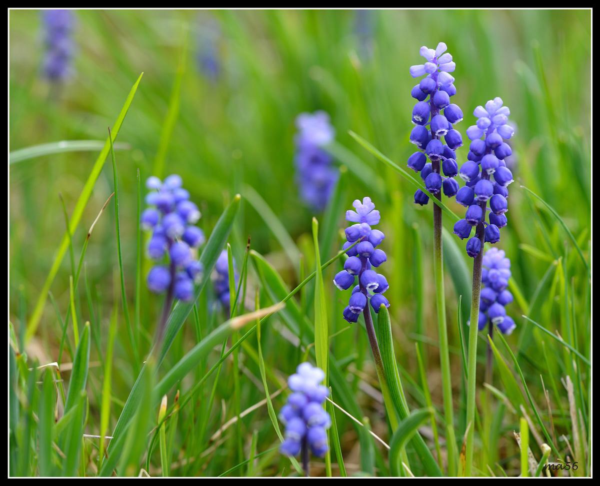 Muscari blue...