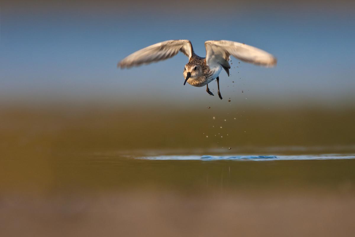 sandpiper taking off...