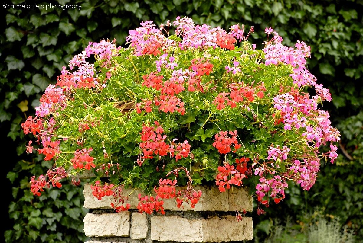 Fiori e piante by carmelo riela juzaphoto for Geranio parigino