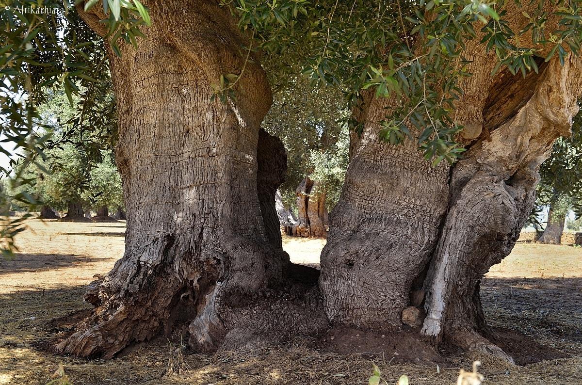 Ulivi secolari della Puglia...