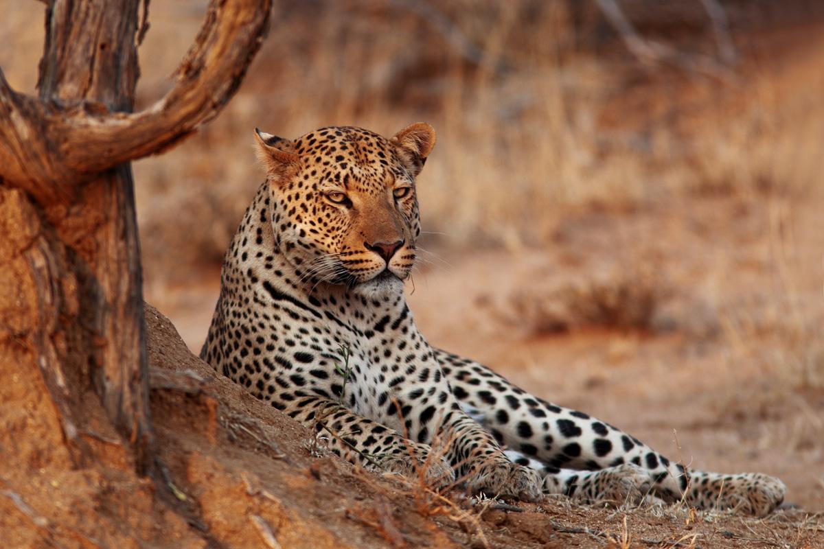 Namibia: Okonjima, Leopard...