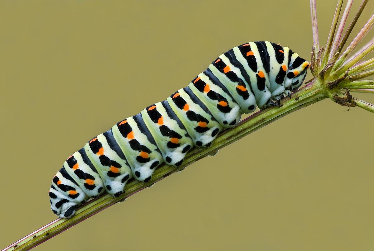 Caterpillar Papillio...