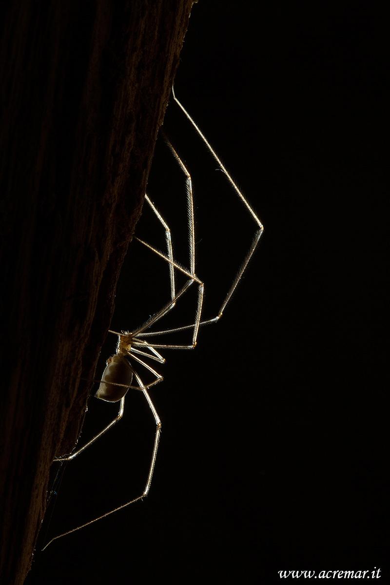 #Arachnida Pholcus phalangioides...