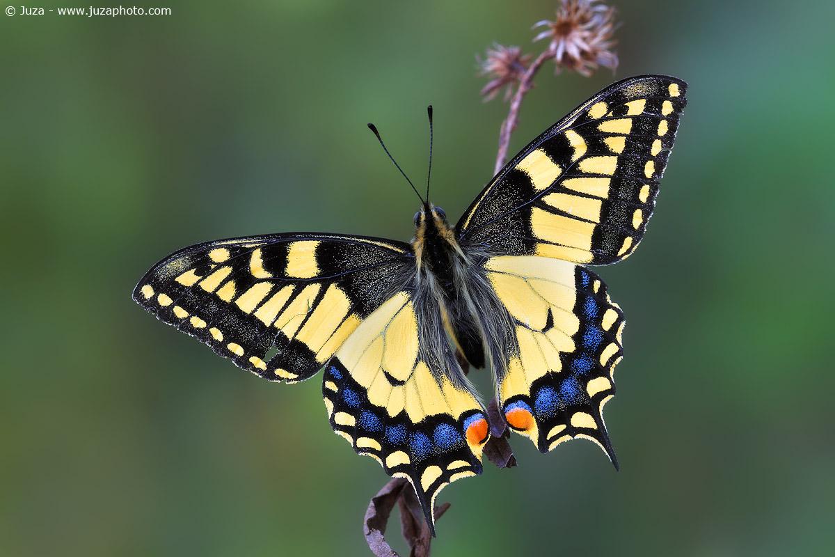 Papilio machaon, 016713...