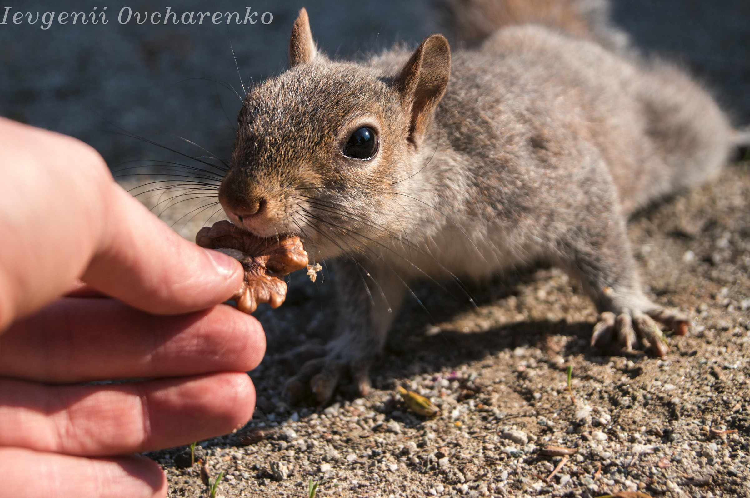 Squirrel in the park takes a nut from my hand...