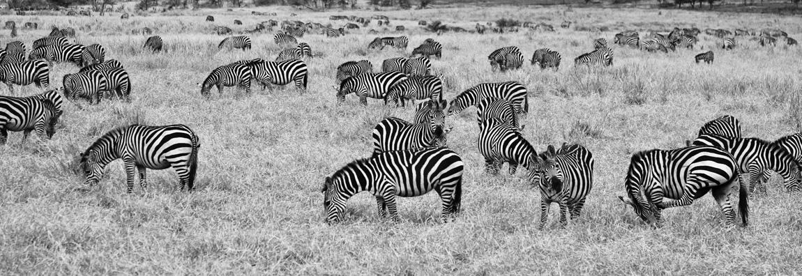 Zebre in savana zona Lobo...