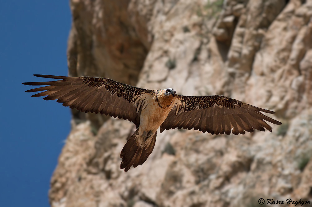 Bearded Vulture...
