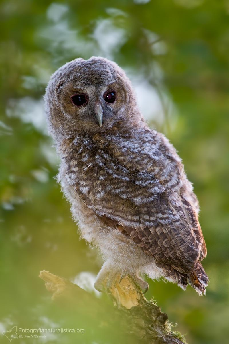Allocco pullus (Strix aluco - Tawny Owl)...
