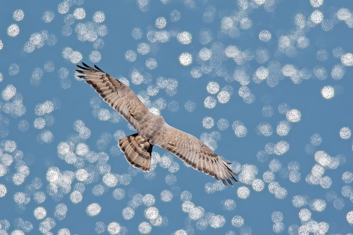 Falco pecchiaiolo sul lago...