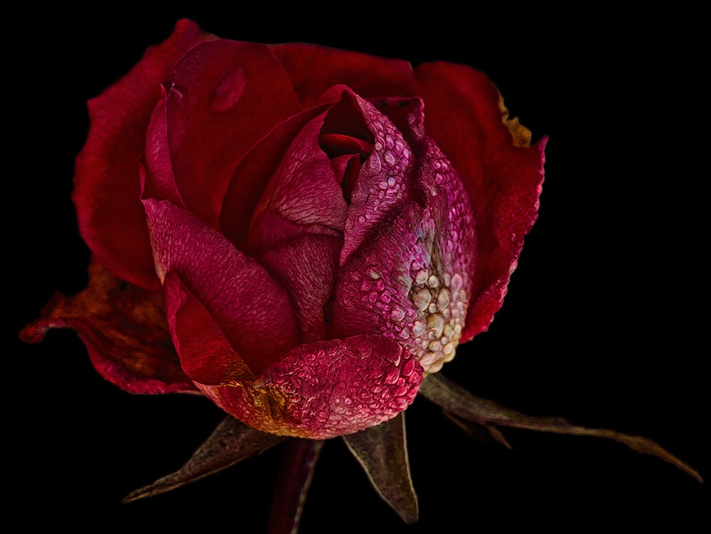 The Last Rose of Winter...