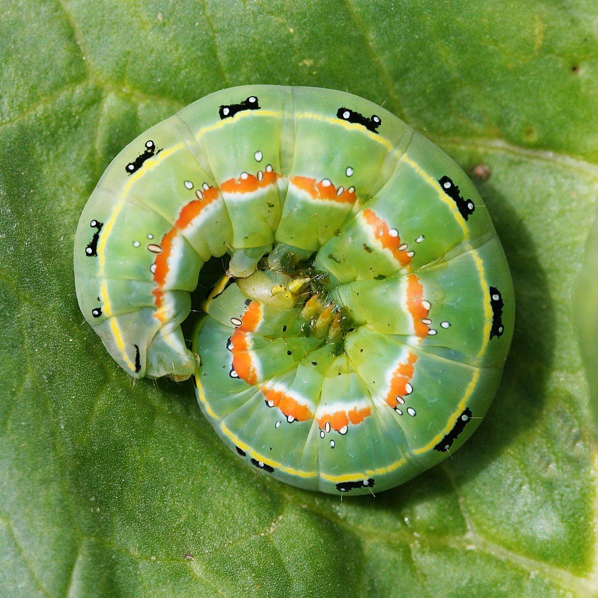 Caterpillar...