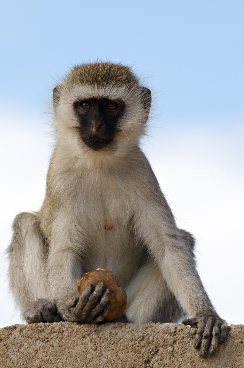 Velvet Monkey...