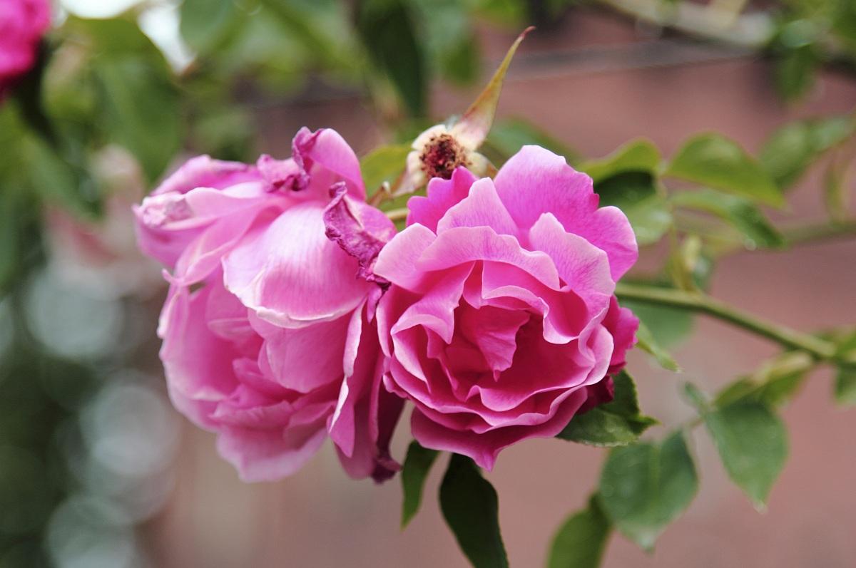 prova con rosa...