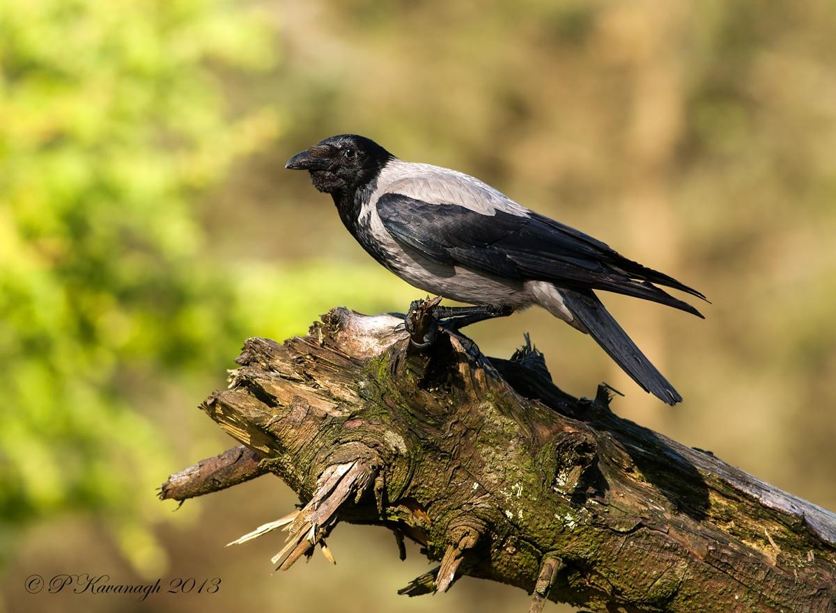 Hodded Crow...