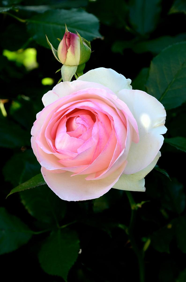 Flora by albieri sergio juzaphoto for Pierre de ronsard rosa