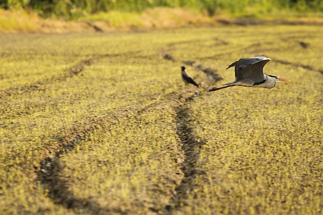 Heron with crow...