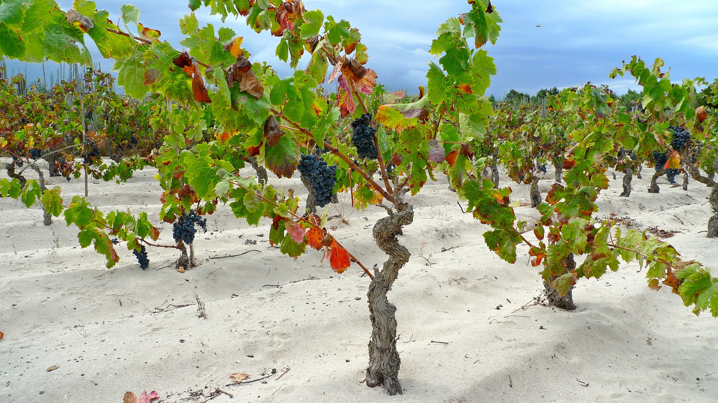 Le mie vigne di Carignano del Sulcis...