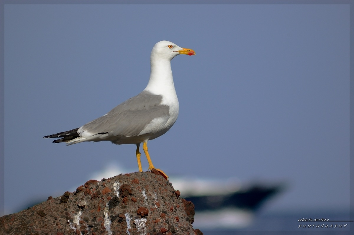 Seagull with Samyang 500mm...