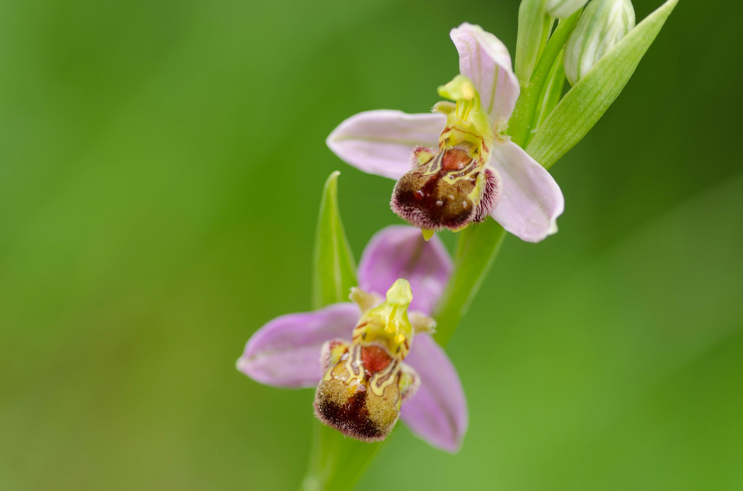 Bee Ophrys...